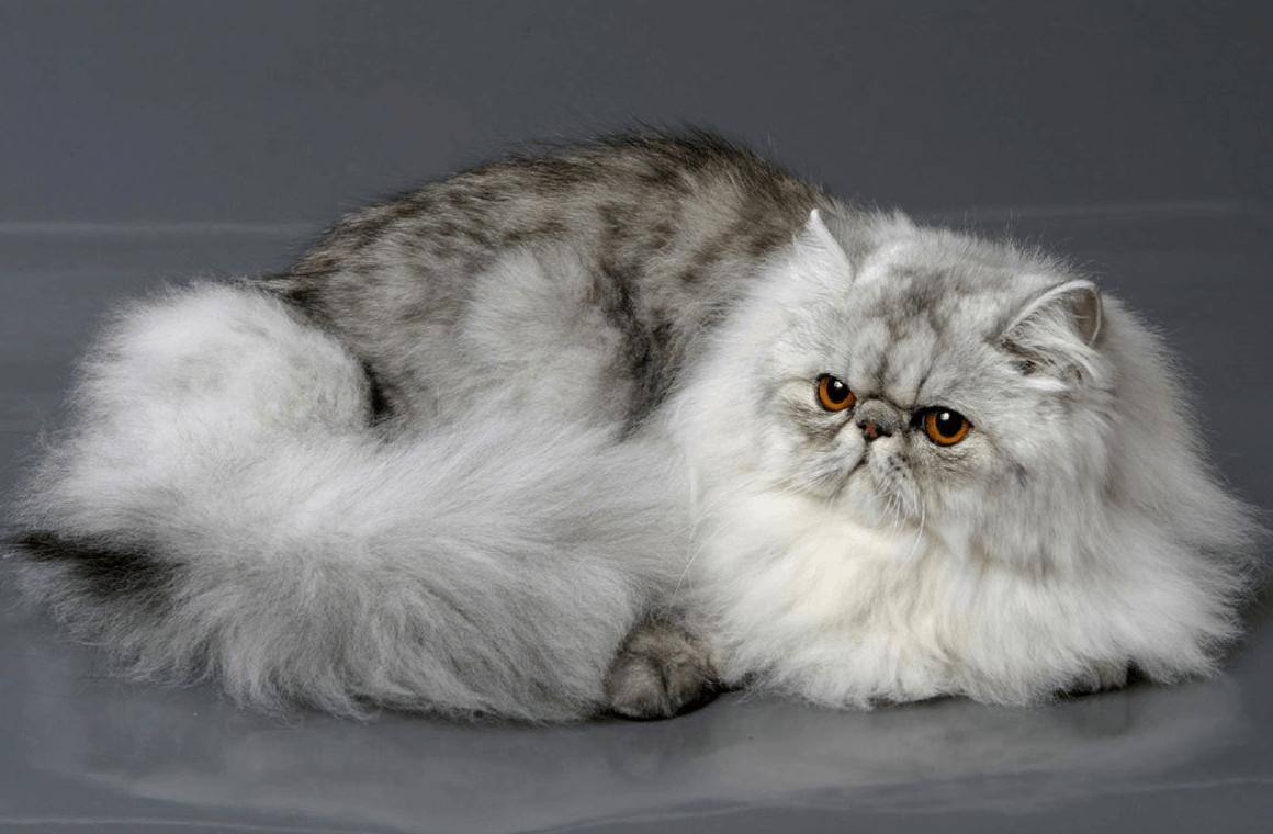 Топ 10 самых прекрасных пород кошек